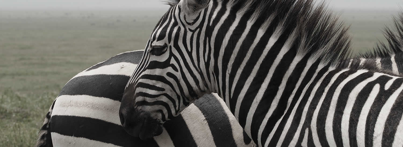 Birds Nest Safaris with zebra